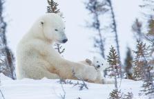 Il signore dell'artico, mostra sull'orso polare